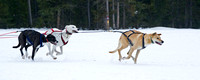 Image of leader sled dogs pulling