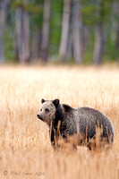 Grizzly Bear Yellowstone vertical image