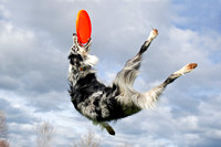Australian Shepherd disc dog in mid air catch photograph