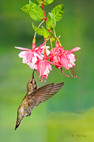 Anna's-hummingbird-vertical-on-fuchsia-flower-image
