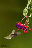 Vertical image of Hummingbird feeding on fuchsia with copyspace