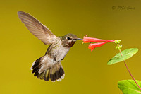 image-of-an-immature-male-Anna's-Hummingbird-feeding-on-a-orange-flower