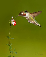 Vertical-image-of-a-male-Anna's-Hummingbird-feeding-on-sage-flower