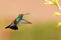 Broad-billed-Hummingbird-Cynanthus-latirostris