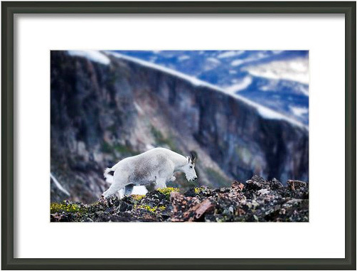 Philip Seu photo of a moutain goat custom framed