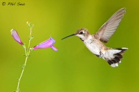 immature-male-Black-chinned-Hummingbird-image-of-dark-throat-patches