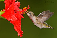 Image-of-hummingbird-tongue-extending-into-flower