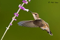 Image-of-a-Black-chinned-Hummingbird-showing-great-wing-detail