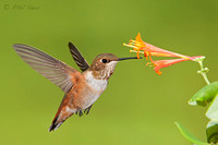 image-of-a-male-Selasphorus-hummingbird-in-flight