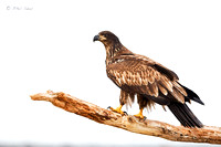 Immature-Bald-Eagle-image