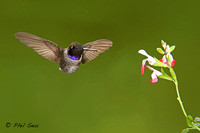 Male-Black-chinned-Hummingbird-Archilochus-alexandri-displaying-black-gorget-with-purple-throat-band