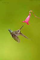 image-of-Anna's-Hummingbird-diving-at-flower