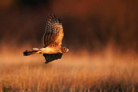 Northern Harrier in flight at sunset image.