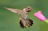 Juvenile-male-Anna's-hummingbird-feeding-on-foxglove-flower-image