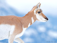 Pronghorn-profile