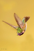 vertical-image-of-male-calliope-hummingbird-diving-in-flight
