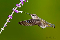 Anna's-Hummingbird-in-flight-feeding-on-sage-flower-image